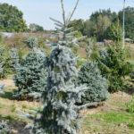Picea pungens 'Moerheim'