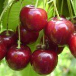 Prunus avium 'Hedelfińska'