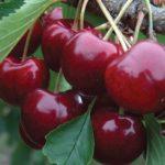 Prunus avium 'Lapins'